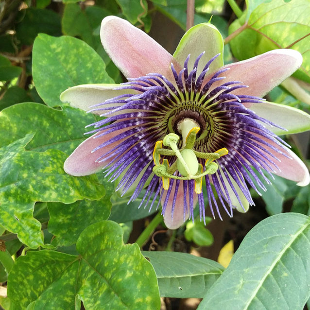 passion flower in keystone heights