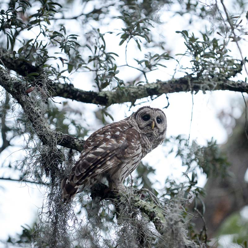 owl perched on tree in mike roess gold head state park, keystone heights